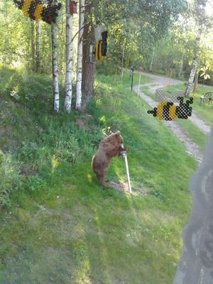 Björnen tog för sig av maten som egentligen var avsett för fågellivet. Foto: Gun-Marie Sundberg