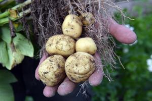 I månadsskiftet maj-juni ska sättpotatisen i jorden – för att sedan tas upp till hösten.