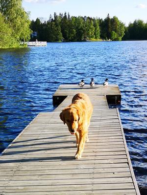 Bild från en härlig promenad vid Gröna gången. Tycker bilden är lite kul då Hilma, min golden retriver (fågelhund) inte brydde sig ett dugg om fåglarna och änderna på bilden var så coola och orädda. Foto: Gunilla Eriksson
