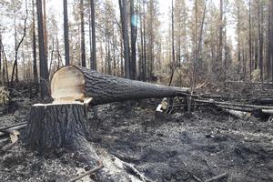 Ibland måste träd fällas för att underlätta släckningsarbetet.