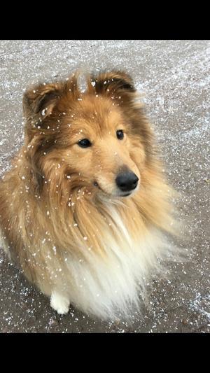 Om bilden: Nicke snart 10 år av rasen Shetland Sheepdog och älskar att hänga på det mesta- längskidor, åka eller springa bredvid en spark och promenera i snön- en riktigt vinter älskande vovve. Foto: Annika Wilson