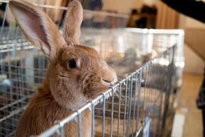 Polisen vet inte vilken storlek som de stulna kaninerna har och de ska ha blivit stulna eller utsläppta mellan den 7-8 november. Bilden är en arkivbild och inte en bild på en av de försvunna kaninerna.