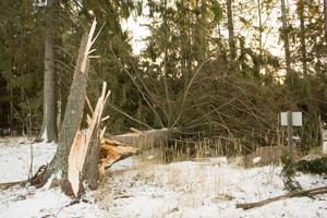 Fura knäckt vid stammen på Björkö Örns camping.