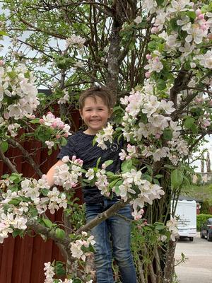 Barnbarnet Isak i äppelträdet.