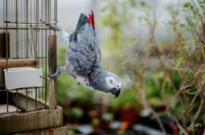Papegojan Poppe är 32 år och gillar att hänga i växthuset nu när det har blivit lite varmare.