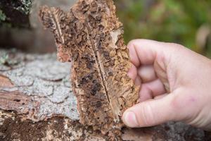I mitten syns gången som honan gnagt under barken, som hon lägger äggen i. När äggen blir till larver gör varje larv en gång, vinkelrätt ut från modergången, där de förpuppar sig. När de färdiga granbarkborrarna kläckts äter de av barken innan de ger sig av från trädet.