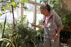 Fikon, olivträd och körsbär. Anna Berggren bjuder på odlingsinspiration.