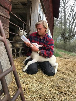 Mattias Karlsson och hans föräldrar är precis klara med årets lammning, och här får ett av de nytillkomna lammen flaskmat. Foto: TV4