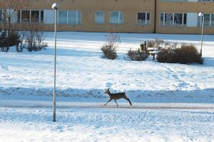 Jag såg detta nyfikna Rådjur när jag tittade ut genom fönstret och fick snabbt tag i kameran. Inget man ser varje dag