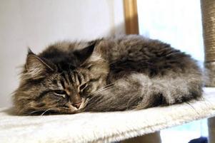Hutti är en av katthemmets katter som blev tingad under gårdagens öppet hus – alltså fått en adoptivmamma- och pappa.