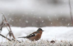 Bofinken traskar runt i den nyfallna snön.