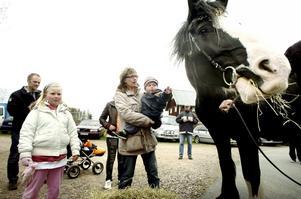 Riktiga hästkrafter. Coolaste hästkraften vid Viiby Krog var utan tvekan 14-åriga shirehästen   Rosanne. När väl Evelina Gustavsson klappat henne vågade också lillasyskonet sträcka ut handen mot den 1,80 meter höga hästen.