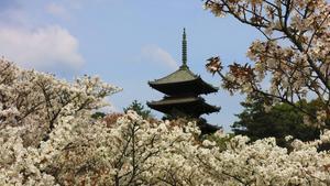 Blommande körsbärsträd och tempel är en vacker syn.   Johan Öberg/TT