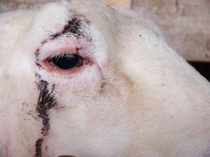 Tolv får är skadade av den lösspringande hunden. Den här fick ett rejält bitsår över ögat.