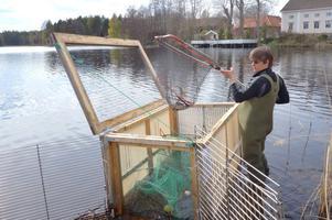 Fantastiskt. Ett vandringshinder för fisken tas bort och abborrarna väller upp. Liknande hinder för fisken finns på många platser.