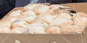 En del av falkarnas mat under den första tiden är uppfödda vaktlar, som protioneras ut.