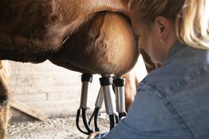 Sommarmjölken är det överskott som kon har efter att ha diat sin kalv.