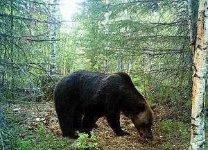 Bild på björn tagen av en vildkamera. Björnen på bilden har ingen koppling till artikeln.