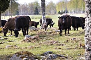 Bröderna satsar på KRAV-certifierad uppfödning av köttdjur. Skotska rasen Aberdeen Angus trivs bra på de lite karga markerna.