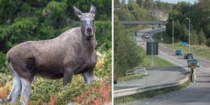 I genomsnitt sker en viltolycka ungefär var åttonde minut i Sverige. Foto: Helene Skoglund/NP, Paul Kleiven/TT
