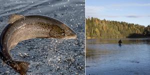 Från den 20 maj 2019 är det förbjudet att fiska lax i Ljungan.