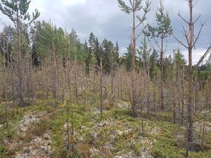 100-tusentals tallar förstördes vid ungskogen i Styrnäs. Foto: Magnus Marinsson Skogsstyrelsen.