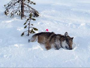 Alfahannen somnade i snön med bedövningspilen i ryggen.