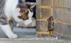 Katt spanar på mus. Foto: Julian Stratenschulte/AP Photo