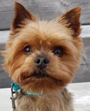 Om bilden: Mitt bidrag till vinterhunden är vår Charlie En liten Yorkshireterrier, 2,8 kg som fyller åtta år 27 januari 2020. Charlie älskar sol, värme och att vara tillsammans med sina nära & kära. En riktig kompis  Foto: Anita Ferm