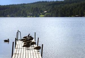 Arkivbild.Kanadagässen är oftast ovälkomna – deras avföring försämrar vattenkvaliteten rejält. Vid regn blir problemen ännu kraftigare.