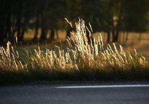 Helt vanligt gräs efter en helt vanlig landsväg. Stråna glänser som guld i den nedgående solens sista strålar.
