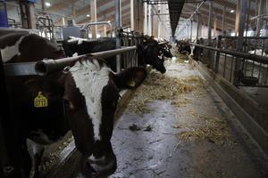 I Ingesarvens ladugård doftar det ko och luften är behagligt varm.