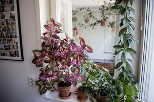 Förutom växternas behov är det bara fantasin som sätter gränser. Här har Therese en porslinsblomma i stället för gardin, och på brädan finns elefantöron och palettblad. Den lilla längst till höger är en kaffeplanta.Foto: Christine Olsson / TT