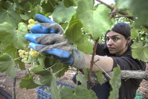 På kibbutzen Tzuba skördar en av de israeliska invånarna Chardonnaydruvor som senare ska bli till vin. Många kibbutzer har gått igenom radikala förändringar de senaste åren för att anpassa sig till dagens samhälle.   Foto: Menahem Kahana