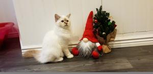 118) Min kattunge Vickan, renrasig helig birma, ordnar julkorten i år :) Foto: Caroline Holm
