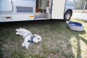 Hunden Max, en tre och ett halvt-årig bichon havanais, vilar i skuggan.