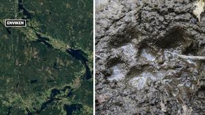 Fem lamm dödades i en vargattack öster om Enviken. Montage: Google maps/Cornelius Poppe / NTB scanpix / TT