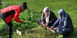 Zaid Ghebremeskel, Sharifa Haidari och Nassima Noori rensar bland koriandern.