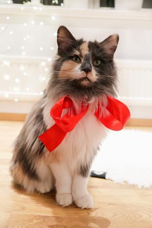 438) Här sitter Dimma med en rosett så röd. Nu har matte fina julbilder på sin misse i överflöd ❤️✨ Foto: Elin Westh