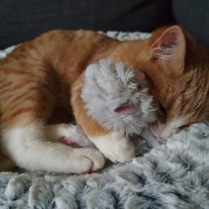Tom, den kramgoa.Nog allt gillar jag att leka som vilken annan kattunge, men inget vinner över lite gos i soffan! Bild: Julia Danberg
