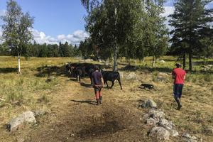 Erik och Emrik tillsammans med hunden Tuula vallar bort korna till transporten som ska ta dem till slakt. Bettan får däremot leva vidare.