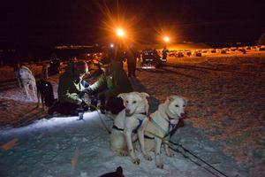 Alaskan huskies väntar på passagerare utanför Tromsö.
