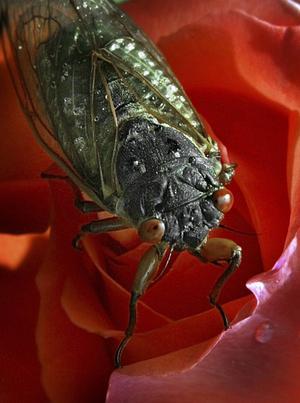 Cikadorna är stora insekter, med en extrem förmåga att producera höga ljud. Vissa arter, som den här arten från USA, har en säregen livscykel med massförekomster vart 17:e år. Foto: Ron Edmonds/AP/TT