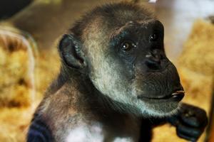 Linda är 35 år.  Tidigare fanns ett beslut att flytta Linda och Manda till en annan djurpark. Men planerna ställdes in i januari i år.