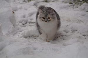 197) Sugar är en Sibirisk katt på 6 månader som gillar att vara ute i kattgården och busa i snön. Foto: Katarina Eklöf