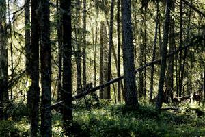 Länets skogar lagrar in mängder av koldioxid varje år. Sammantaget har Jämtlands län en kylande effekt på klimatet.