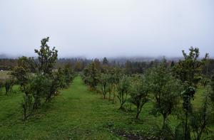 Havtornsbuskar i långa rader hos Galina Timmermane. Odlingen startade hon och maken Rolf 2007.