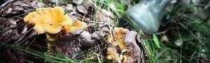Kantareller trivs i fuktiga miljöer. Det gynnar årets säsong.