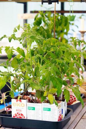 Kajsa Källérus är mycket för återbruk. Tomaterna växer fint i gamla mjölkförpackningar som fått några hål i botten .