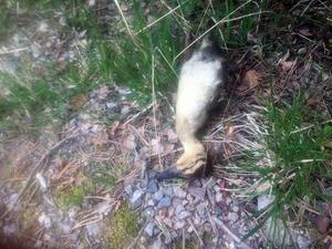 Foto: Inga-Lill Dahlborg.En av de döda andungarna.